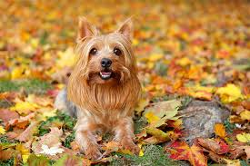 silky dog white. the silky terrier dog breed exemplifies expression \u201csmall dog, big personality.\u201d weighing just eight to 10 pounds when full grown, he\u0027s tough and white y