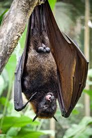 Hasil gambar untuk bat hanging on tree