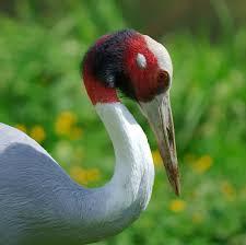 sarus crane grus antigone luc viatour jpg