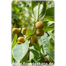 Turmeric U0026 Saffron HaftSeen PhotosLotus Fruit Tree
