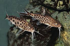 Synodontis Catfish African Companion Fish For Your Cichlid