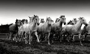 running horses black and white. Wonderful White In Running Horses Black And White Z
