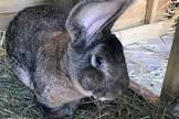 Darius, the world`s longest rabbit, is stolen from his home