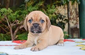 baby puggles. Fine Baby In Baby Puggles