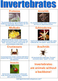 Animal Flow Chart Ks2 Invertebrates Chart Www Loving2learn Com Science Biology
