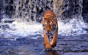 photo of a tiger walking through water