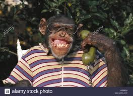 Chimpancé Con Gafas Fotos e Imágenes de stock - Alamy
