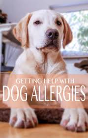 Common Allergies in Labrador Retrievers