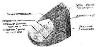 Реферат Анатомическое строение ногтей Ногтевая пластинка представляет собой отмерший слой кератина В ногтевом матриксе керотиноциты уплотняются и становятся ровными и плоскими способствуя