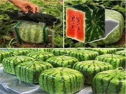 square watermelon plant.  Square 1 Like Throughout Square Watermelon Plant