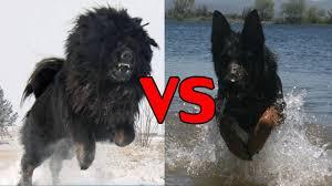 german shepherd tibetan mastiff mix. Beautiful Tibetan Tibetan Mastiff And Black German Shepherd Dog  Dangerous Dogs Inside Mix