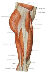 Upper Leg Muscle Chart 44 Best Muscles And Anatomy Images Anatomy Muscle Anatomy