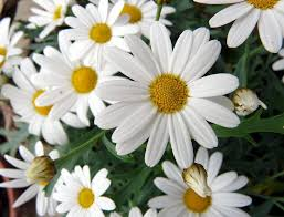 Resultado de imagen para margaritas flor