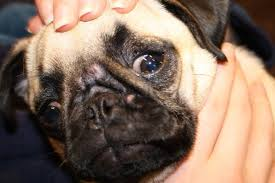 4 simple ways to treat dogs acne