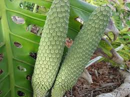 Monstera Deliciosa poisonous fruit when ripe in General Memes ... via Relatably.com