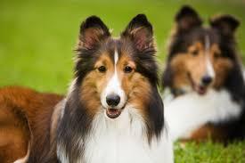 dog coat shiny and healthy