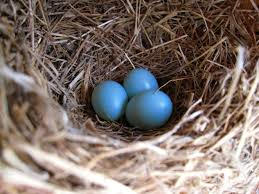 a quick photo of beautiful blue bluebird eggs in my backyard bluebird house in the spring so exciting i also got to see them all hatch and fly away