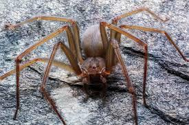 Scoperta nuova specie di ragno violino in grado di far marcire pelle e  muscoli con un solo morso - greenMe