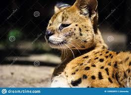 Bello gatto del serval immagine stock. Immagine di africano - 150885093