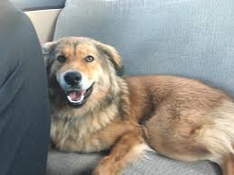 german shepherd golden retriever mix. Plain German Golden RetrieverGerman Shepherd Mix And Full Of Energy She Is Playful  Gets Along With All Dogs Cats Kids Sheu0027s A Smart Girl Who Knows Basic For German Retriever Mix L