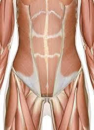 Stomach Muscle Chart Muscles Of The Abdomen Lower Back And Pelvis
