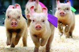 Image result for running pigs