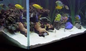 African Cichlid Aggression Chart African Cichlid Aggression How To Reduce Aggression