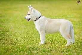 cream and white husky puppy