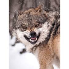 Snarling Derp Wolf wants to be a meme. MAKE IT HAPPEN REDDIT ... via Relatably.com