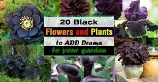 20 <b>BLACK Flowers</b> And Plants to Add Drama To Your Garden ...