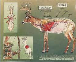 Deer Vitals Chart Whitetail Shot Placement Pursuing The Wild Life