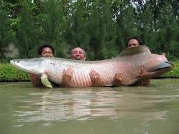 giant amazon river fish. Interesting Amazon Amazon River Fish Species  The Arapaima A Giant Species Of Fish That  Lurks In The River  On Giant A