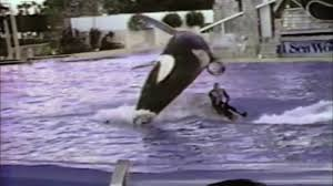 tilikum attack footage.  Tilikum The Film Includes Footage Of Attacks Upon The Trainers Even By Captive  Born Orca Showing That It Is Not Necessarily Trauma From Being Taken  In Tilikum Attack Footage