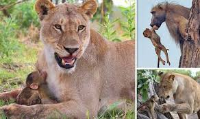 lioness and lion cuddle. Wonderful And Nature Animals Baboon Lion Lioness Killed Cuddle Mother And Lioness Lion Cuddle