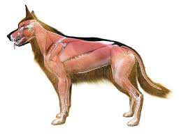 Canine Muscle Chart The Muscle System Of The Dog Stock Illustration