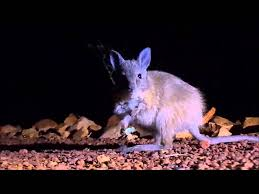 nocturnal desert animals. Perfect Desert Nocturnal Tour At The Alice Springs Desert Park Introducing Animals With Animals I