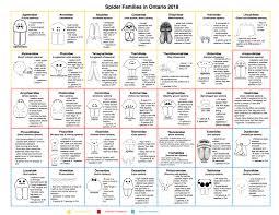 Family Chart Spider Family Chart