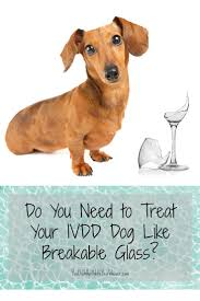 how careful do you need to be with a dog that has ivdd