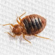 Bedbugs Images What Do Bed Bugs Look Like Bed Bug Identification