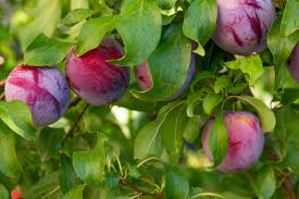 Best 25 Pruning Plum Trees Ideas On Pinterest  Prune Ideas Do You Need 2 Plum Trees To Produce Fruit