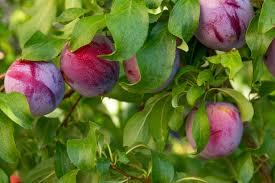 Haitian Plum A True Taste Of The Hills Of HaitiPlum Tree Not Producing Fruit