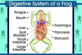 Parts Of A Frog Frog Stomach Diagram Solution Of Your Wiring Diagram Guide