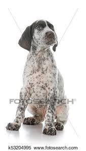 german shorthaired pointer puppy stock