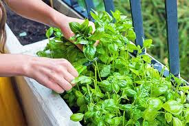 how to plant and grow basil gardener