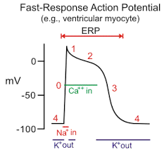 Image result for action potential myocyte