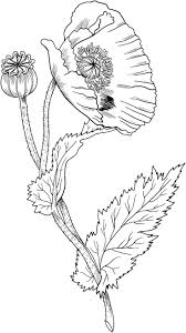 Opium Poppy Coloring Page From Poppies