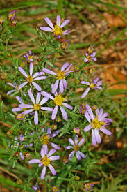 Galatella sedifolia - Wikipedia