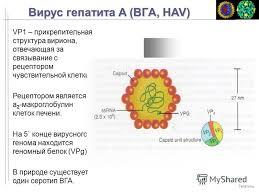 Презентация на тему Вирусы гепатита человека Гепатиты Известные  5 Вирус