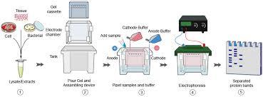 western blot protocols part 1