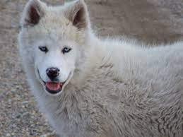 white wolf pup with blue eyes. Fine White NO ARCTIC Wolf In This DOG Puppy Being Born White Is A Trait Intended White Wolf Pup With Blue Eyes